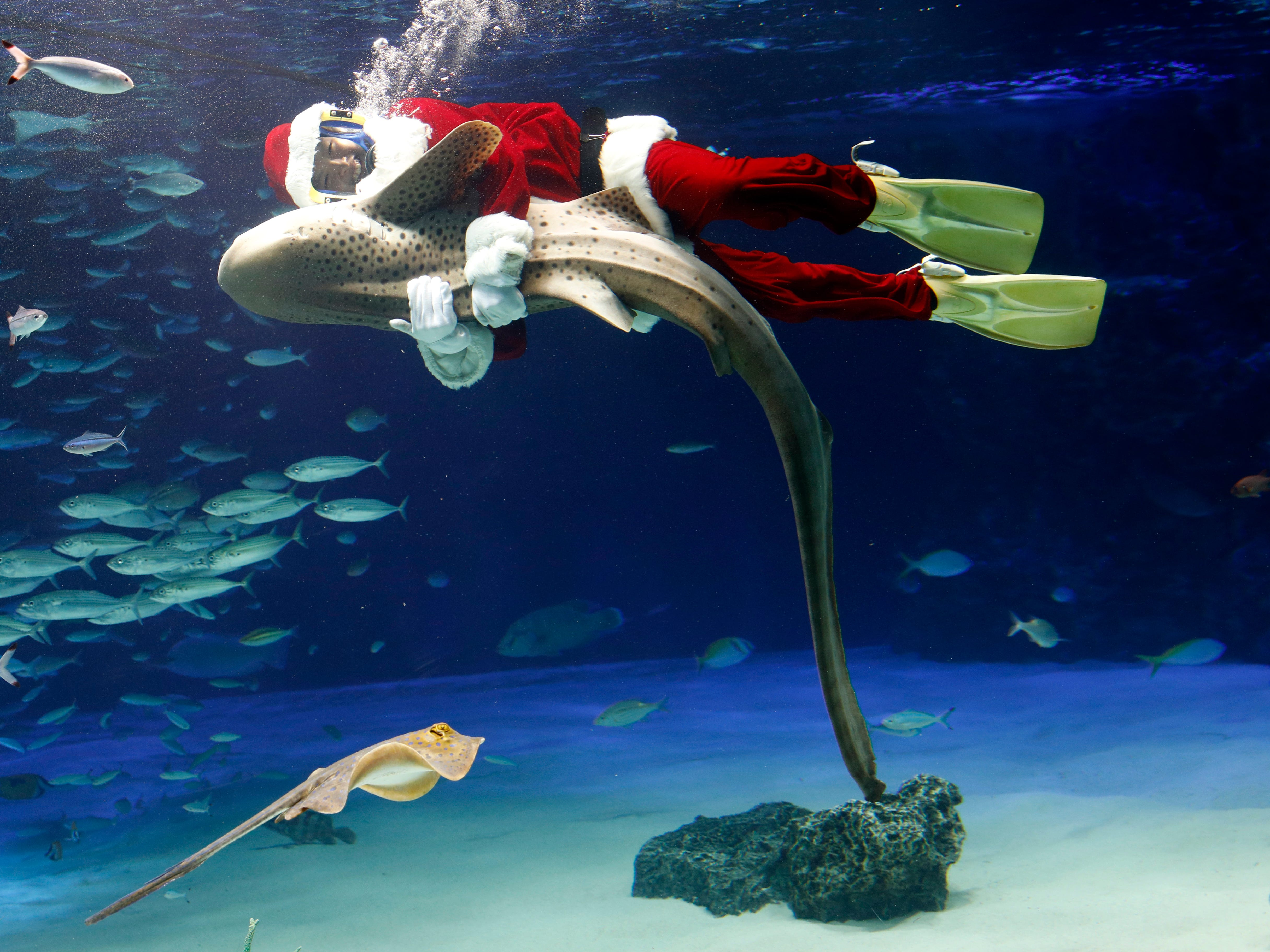 A diver wearing a Santa Claus costume swims with a Zebra shark during an underwater performance at Sunshine Aquarium in Tokyo, Japan on Dec.14, 2018. The show will be held until Christmas day.