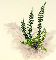 Ebony spleenwort (Asplenium platyneuron) is a delightful little fern found in practically every county in North Carolina.