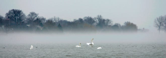 Swans pass the time on Lake St. Clair as fog hangs low over the water.