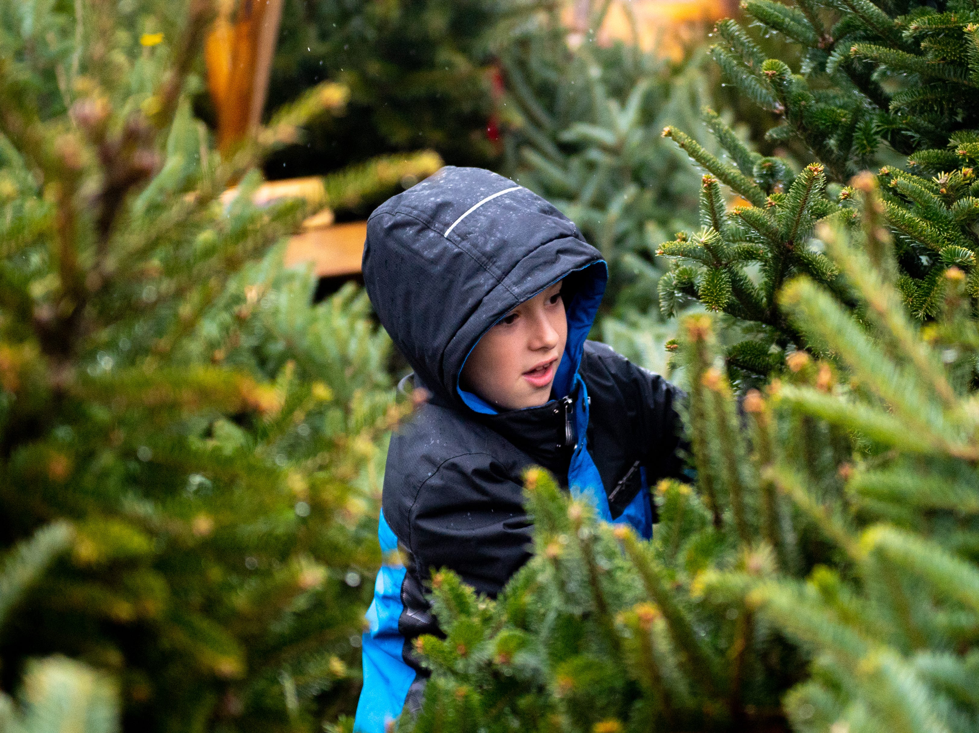 Colton Graver, 8, runs from tree to tree examining each one thoroughly at the annual Christmas Tree Sale in the parking lot of Ollie's Bargain Outlet in Springettsbury Township. Tree sales benefit the Central Pennsylvania Food Bank.
