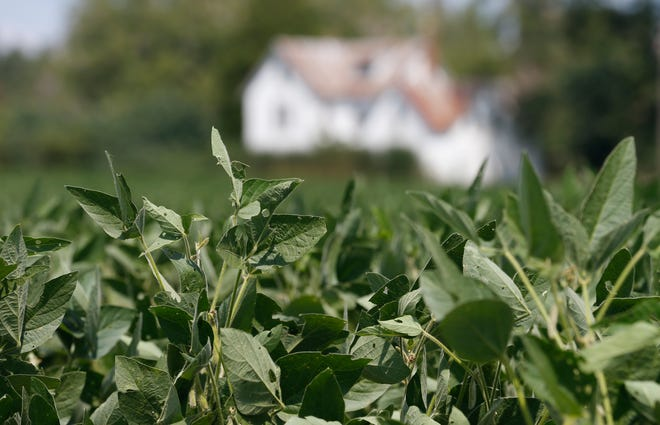 FILE - In this Sept. 7, 2018 file photo, soybean plants grow in a field in front of a farm house in Locust Hill, Va. The resumption of soybean sales to China is encouraging to American farmers who've seen the value of their crop plummet amid a trade war with the Asian country.