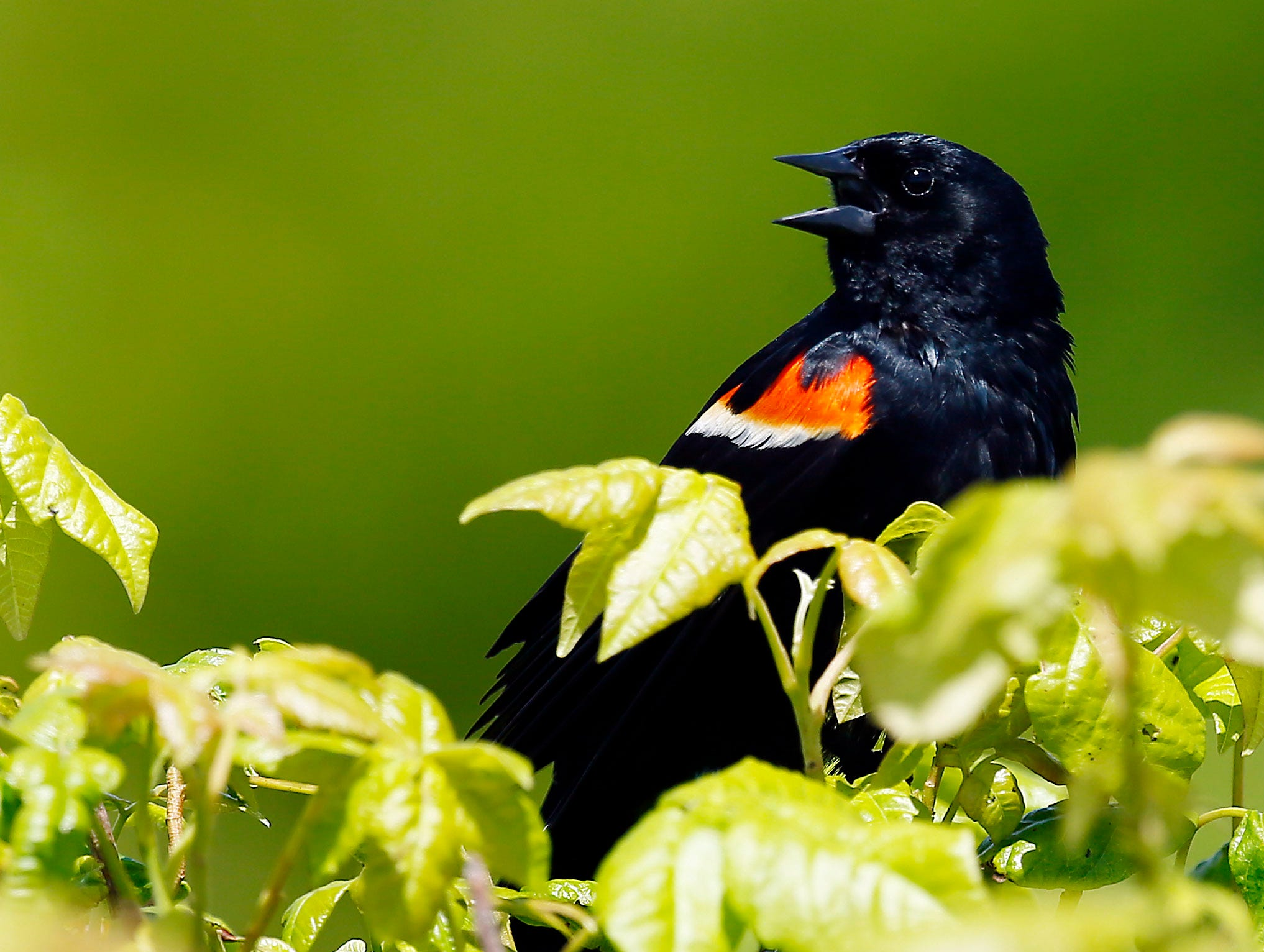 A Red Winged Blackbird sings at Gateway National Recreation Area on Sandy Hook. Summer Guide. June 19, 2018. Sandy Hook, NJ