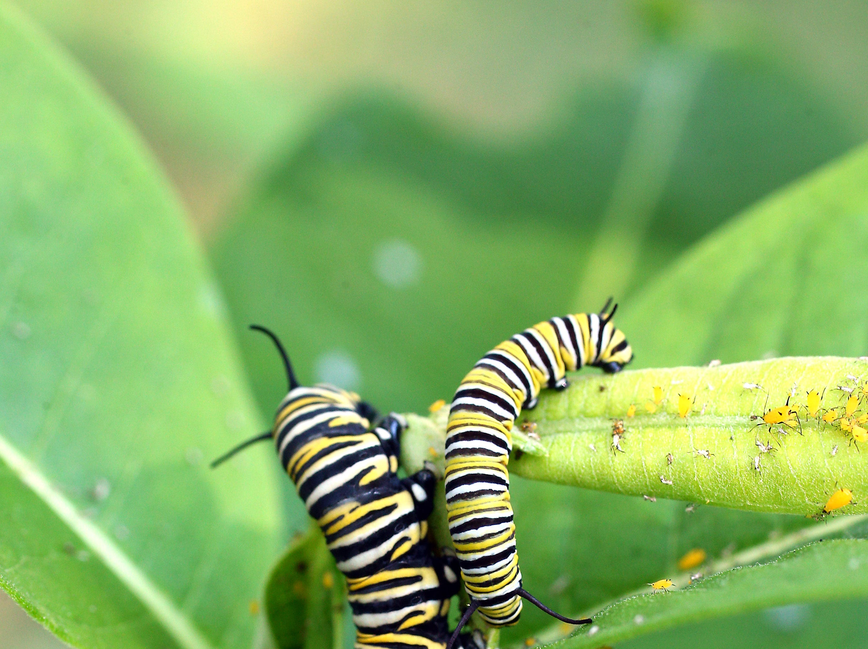Two Monarch caterpillars on a milkweed plant soon to build their chrysalis' and then emerge 10 days later into  Monarch butterflies. From there, they'll fly south in search of food and mates. August 29, 2018, Morristown, NJ