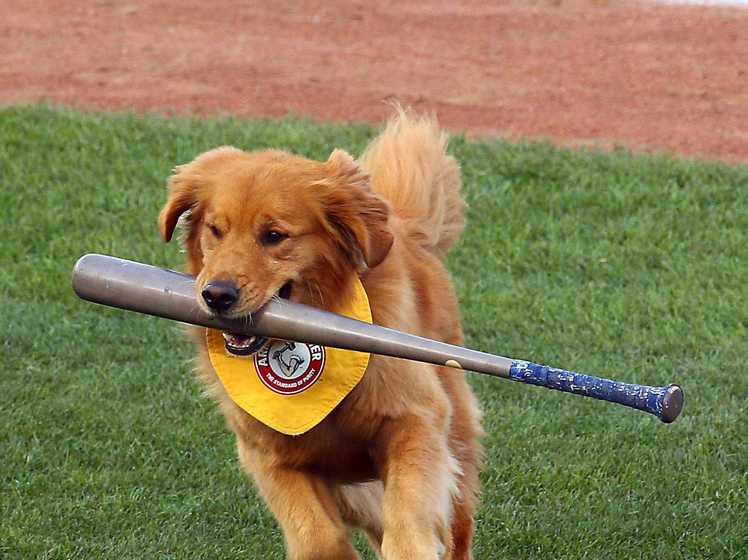 Third generation Trenton Thunder Bat Dog, Rookie retrieves a bat in the first inning as the Thunder hosted the 2018 Eastern League All-Star Classic at ARM & HAMMER Park in Trenton. July 11, 2018, Trenton, NJ.