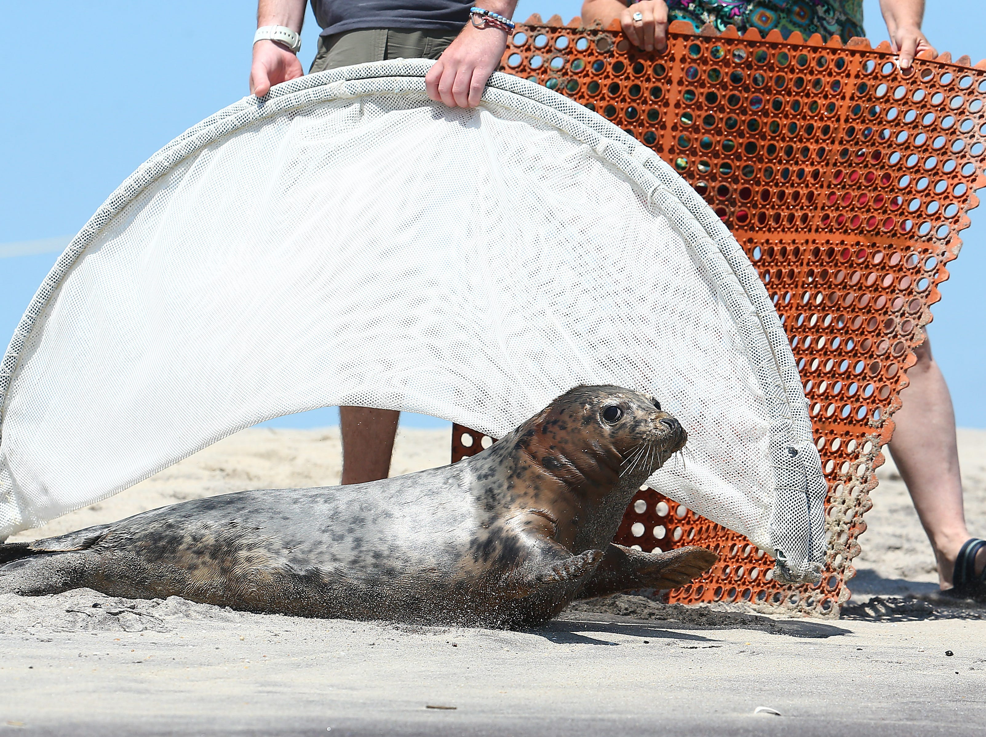 A 6-month-old female gray seal rehabbed from the Marine Mammal Stranding Center in Brigantine, gets help on her way to the Atlantic Ocean as three baby seals were released Monday afternoon at the Gateway National Recreation Area into the ocean off the coast of Sandy Hook, NJ. June 25, 2018. Sandy Hook, NJ