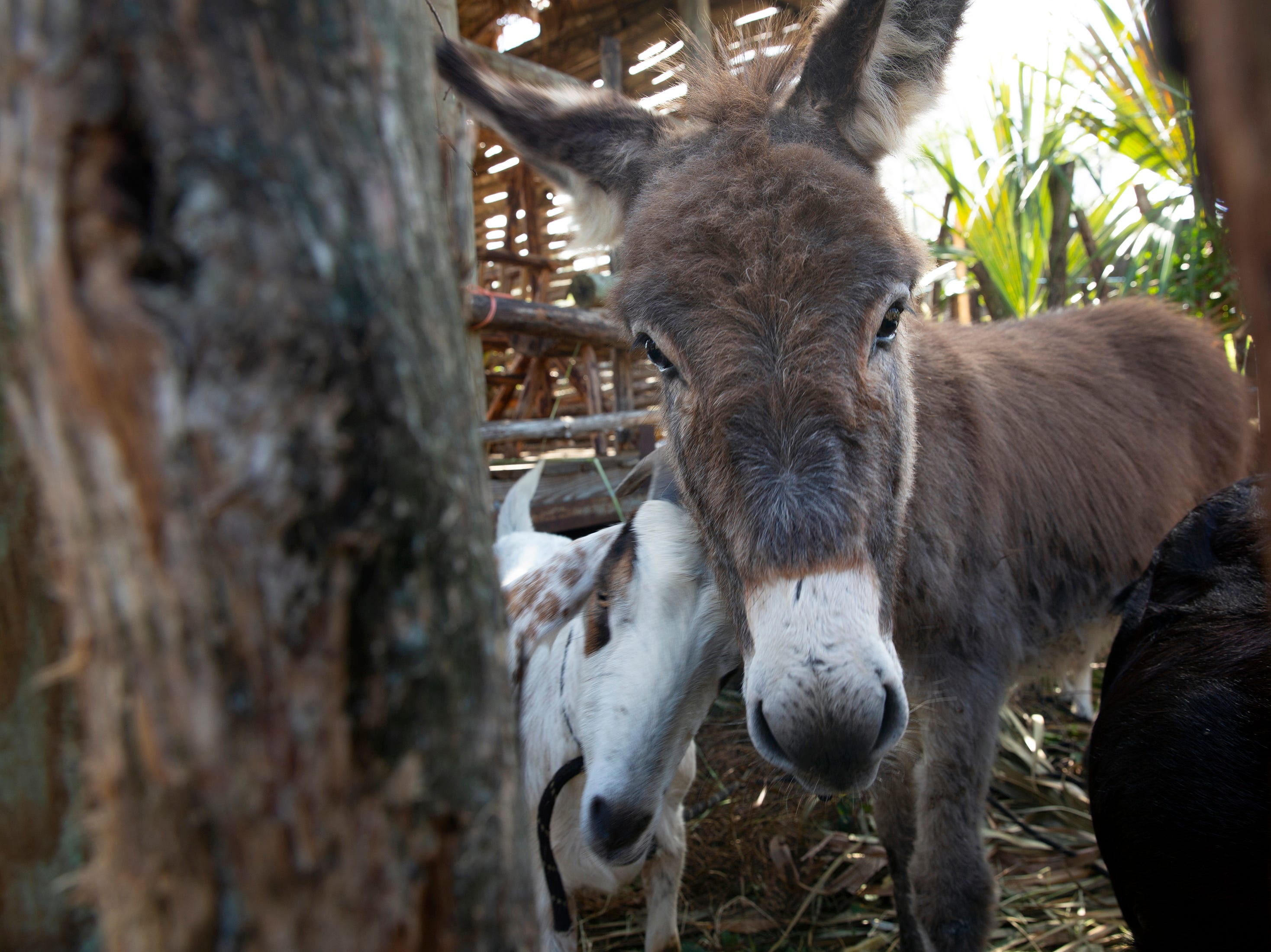 A goat and a donkey share a pen in a live nativity at St. Agnes Catholic Church on Sunday, Dec. 16, 2018, in East Naples.
