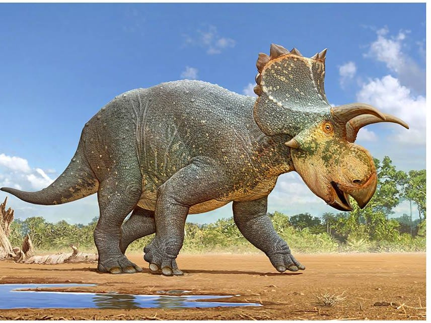 Artist's rendering of Crittendenceratops krzyzanowskii, a new species of dinosaur found in southern Arizona.