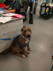 One of the three dogs that attacked a woman doing laundry on Saturday in Anza.
