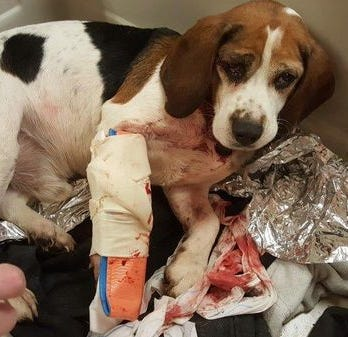 Someone threw 2 beagles out of a moving vehicle on Interstate 81 in New York