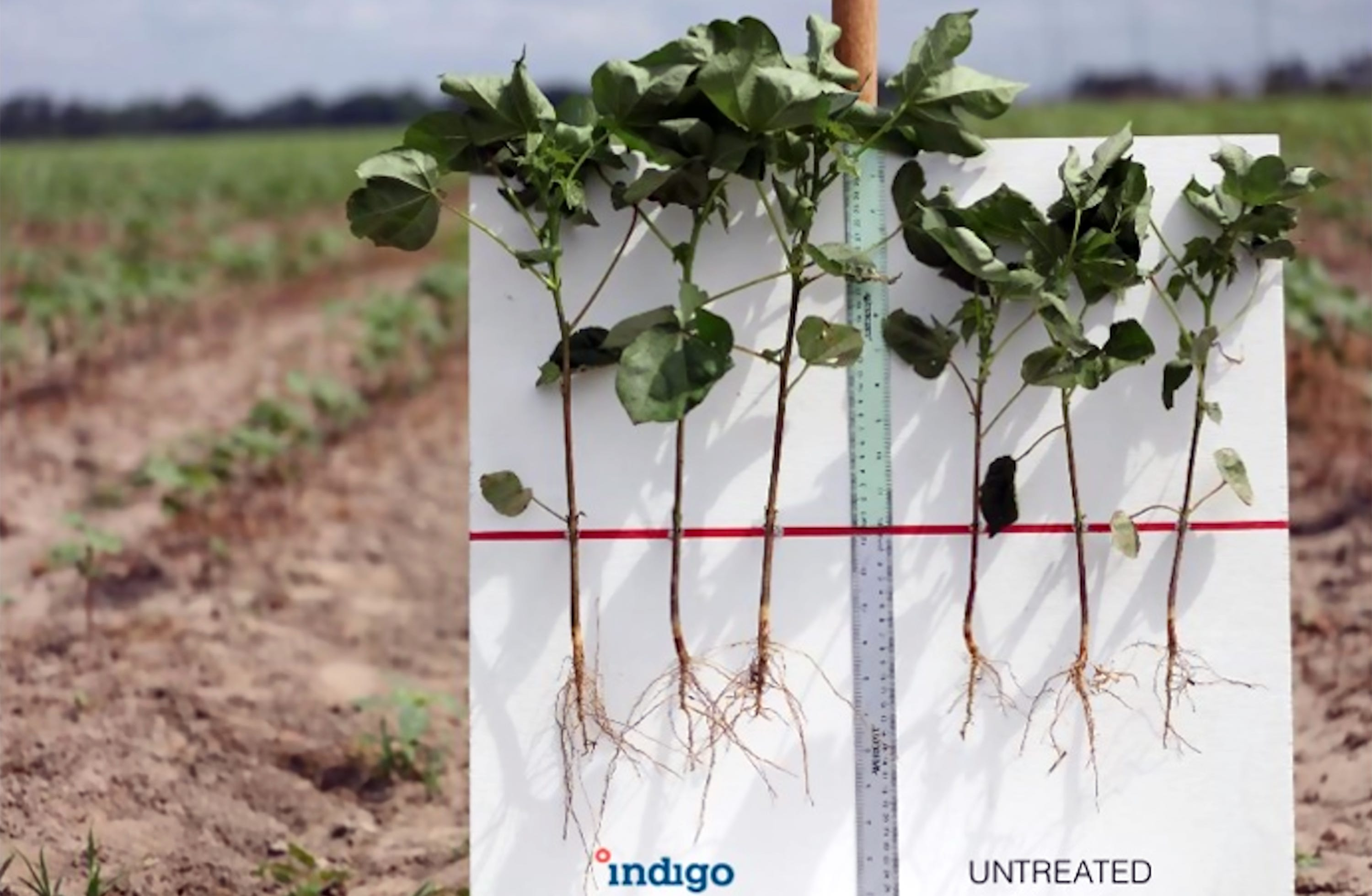 In 2016, Indigo Ag launched its first commercial crop: cottonseed with beneficial microbes that produced 10 percent more yield under stress conditions including drought.