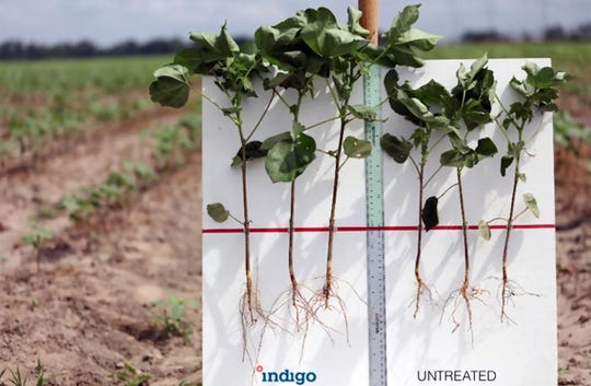 In 2016, Indigo Ag launched its first commercial crop, cotton seeds with beneficial microbes that consistently showed 10 percent greater yield under stressful conditions, including drought.