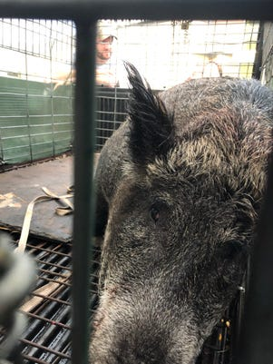 'Massive' hog captured in Palm Bay