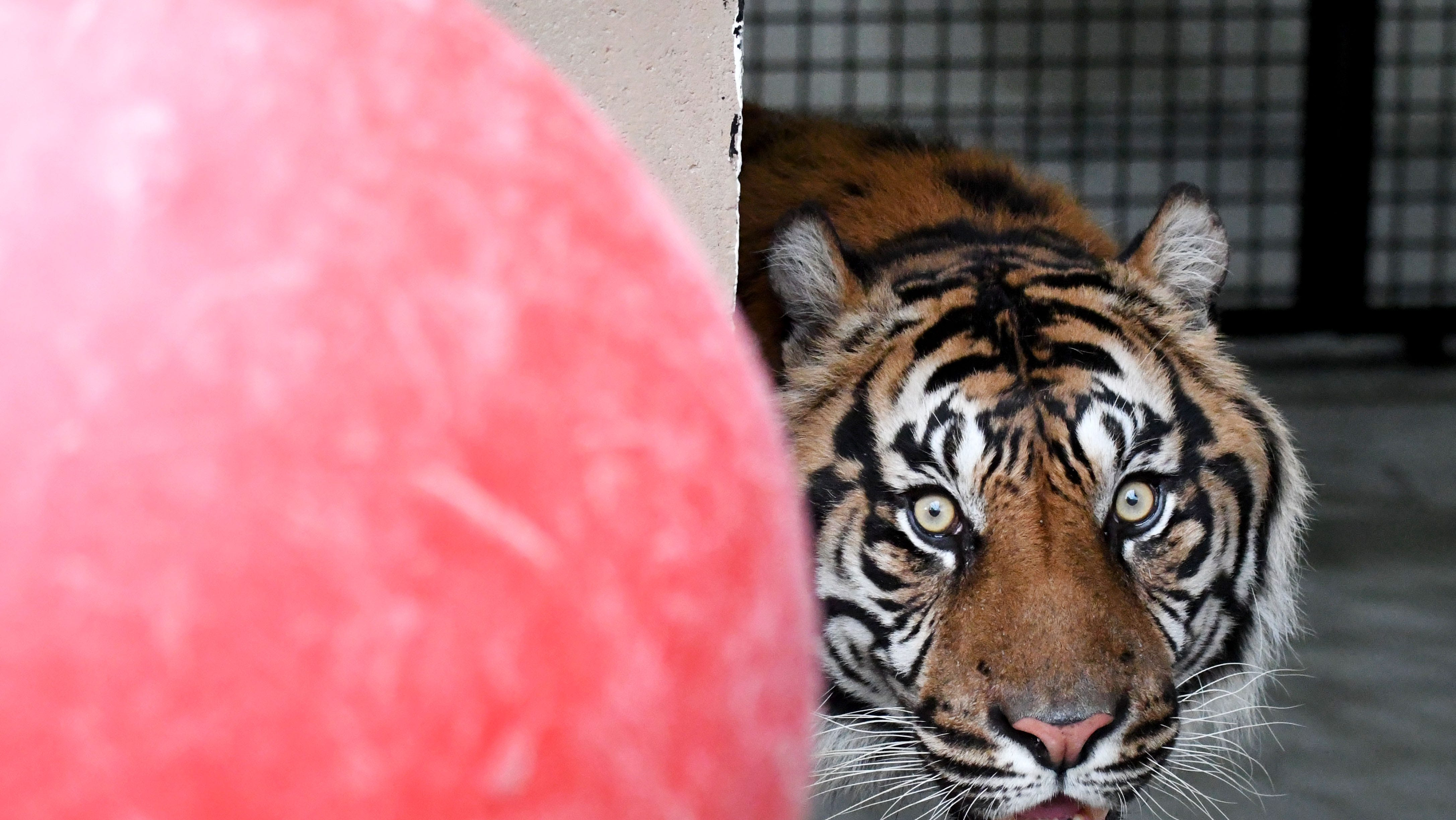 The Hattiesburg Zoo receives a new Sumatran tiger, Kipling, from the Dallas Zoo on Monday, December 17, 2018. Kipling was born at the Jackson Zoo and has returned back to Mississippi.