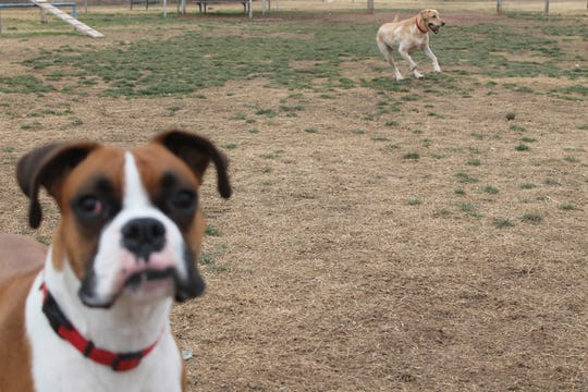 Oly, 2, photobombs a picture of Ruby playing at Alamogordo's Bark Park on Monday, Dec. 17, 2018.