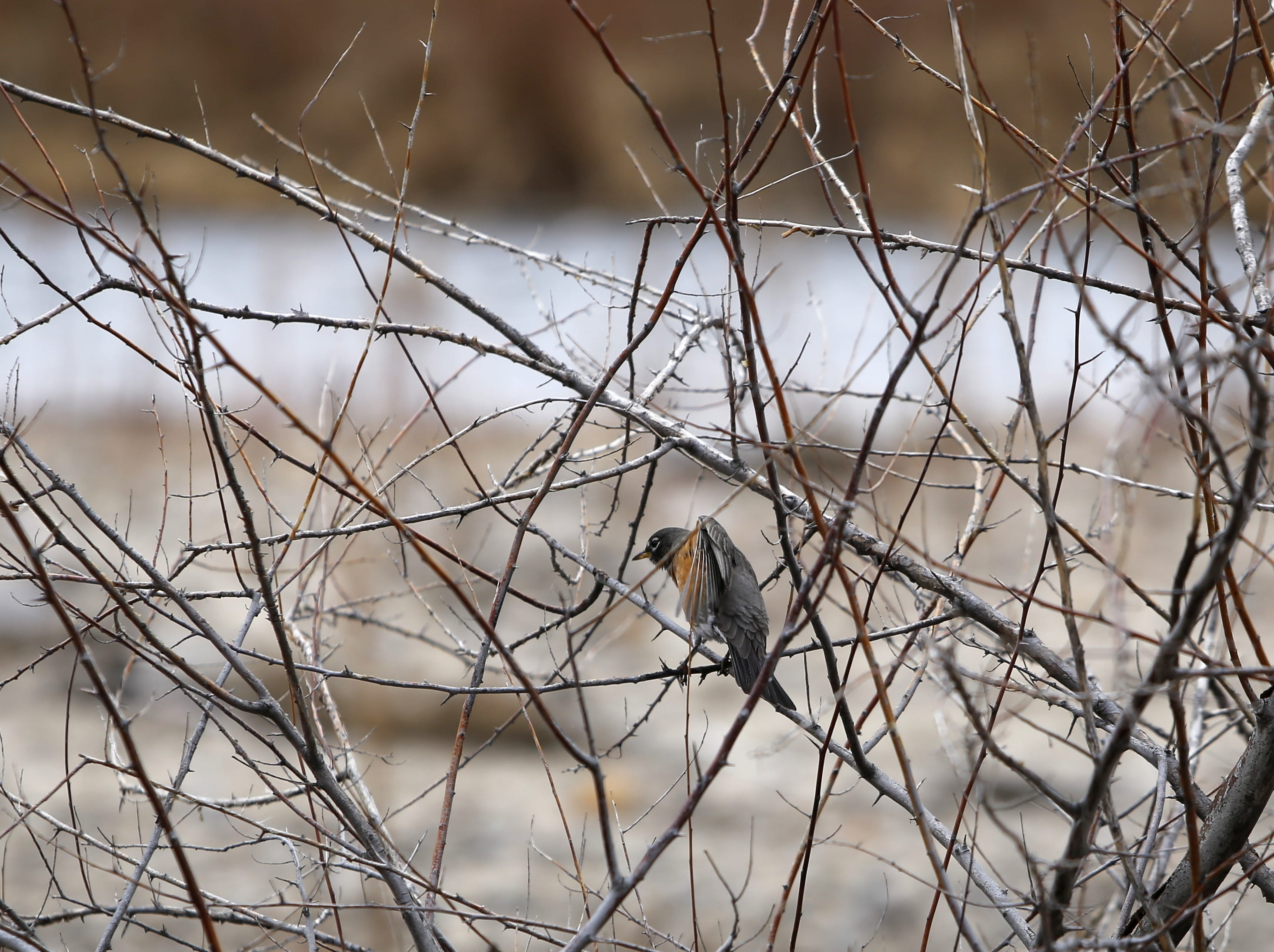 A robin perches in a bush, Monday, Dec. 17, 2018, next to the confluence of the Animas and San Juan rivers in Farmington.