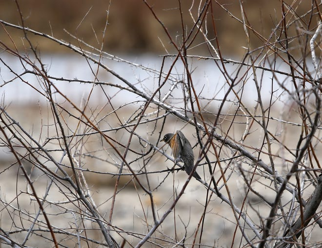 A robin perches in a bush Monday next to the confluence of the Animas and San Juan rivers in Farmington.