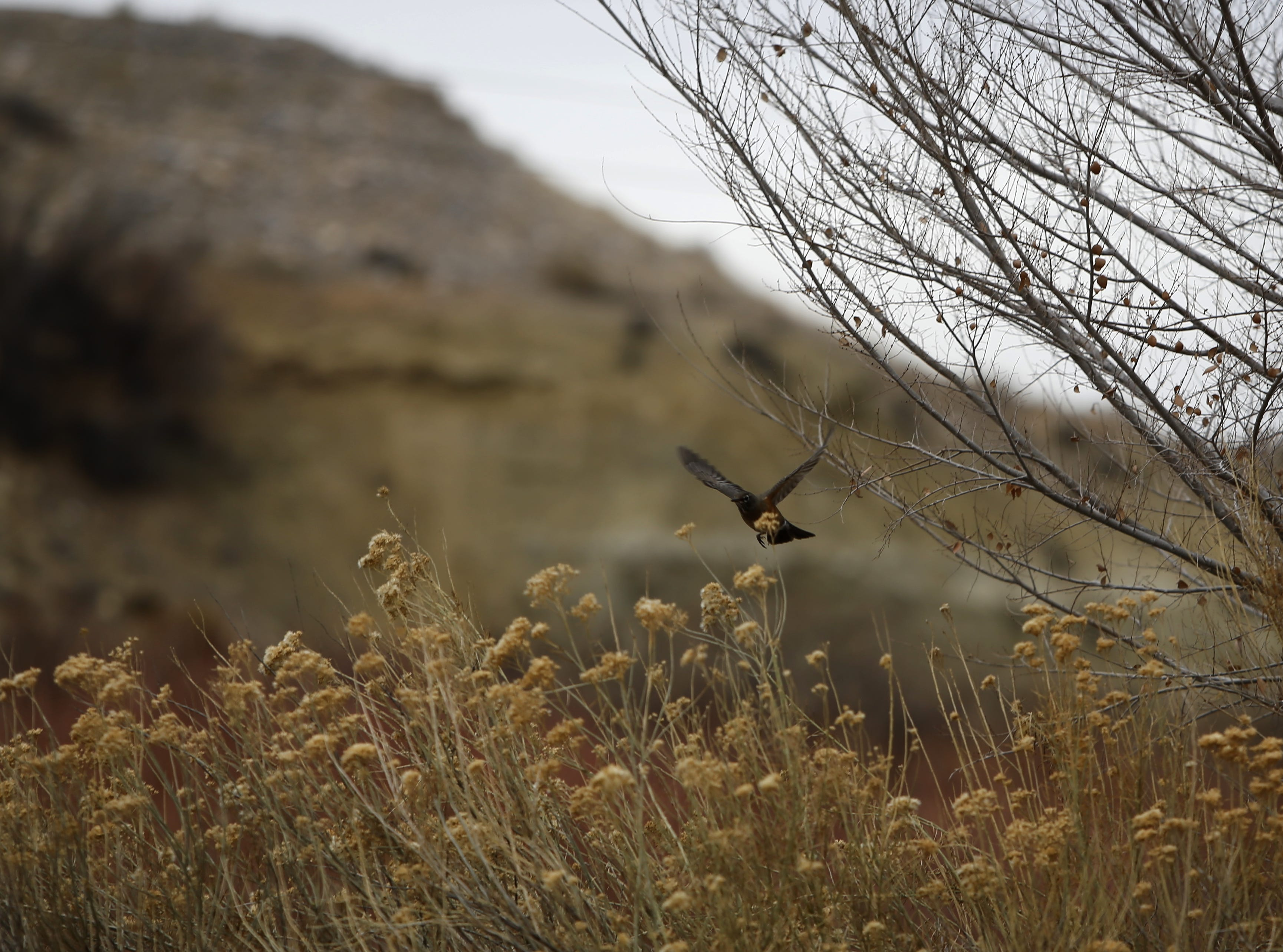A robin flies, Monday, Dec. 17, 2018, near the Among the Waters Trail in Farmington.