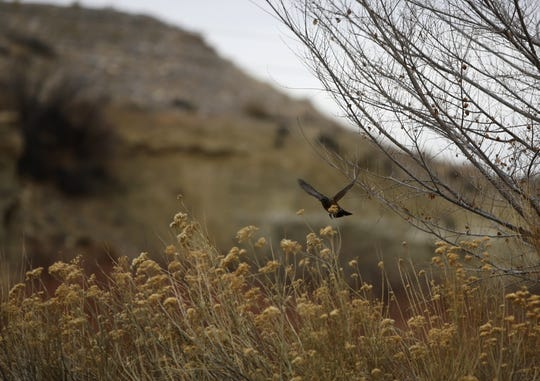 A robin flies Monday near the Among the Waters Trail in Farmington.