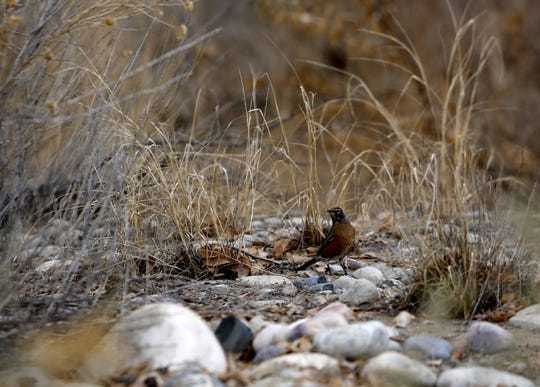A robin hops Monday next to the Among the Waters trail in Farmington.