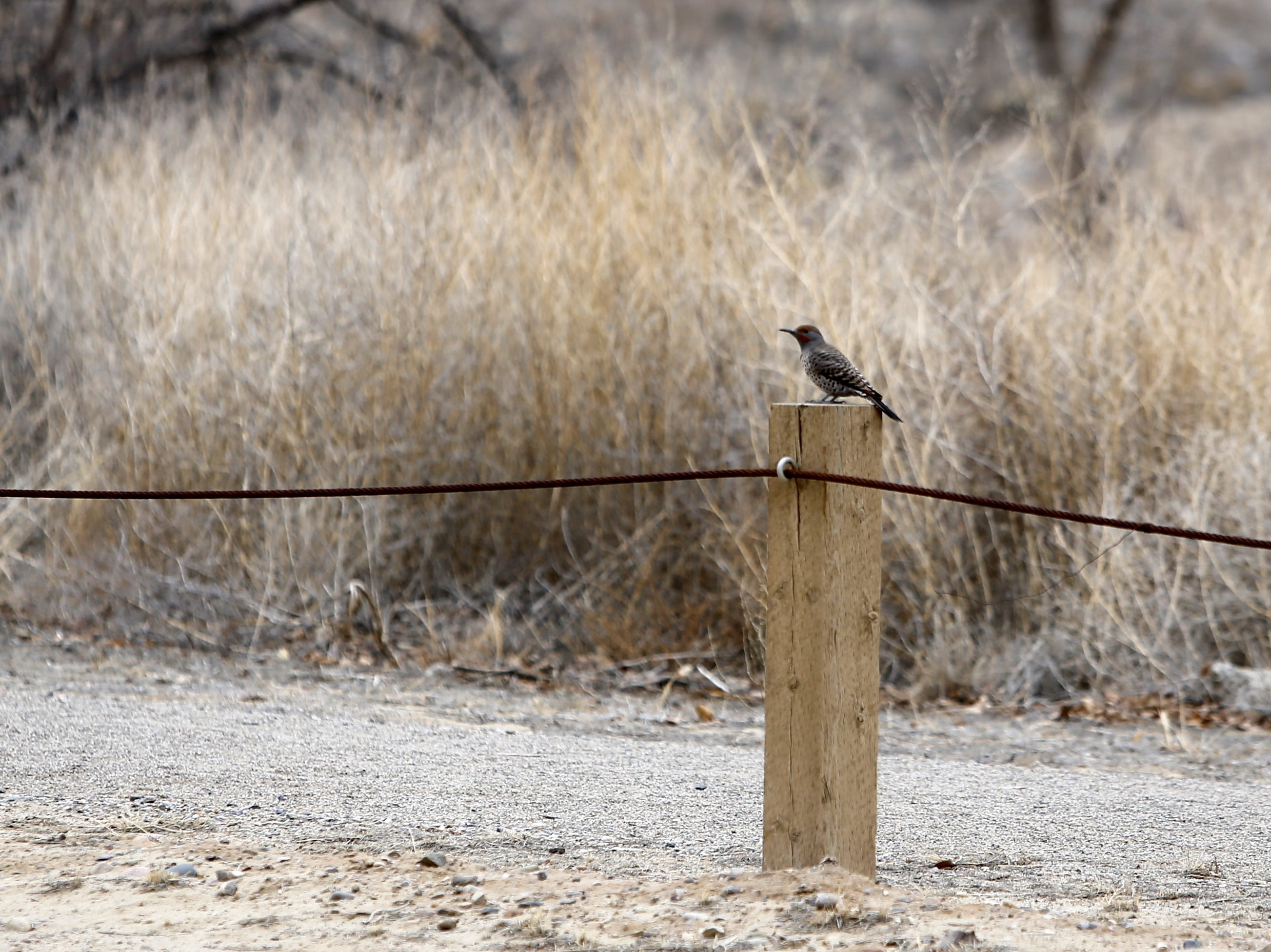 A northern flicker sits on a fence post, Monday, Dec. 17, 2018, next to the Among the Waters Trail in Farmington.