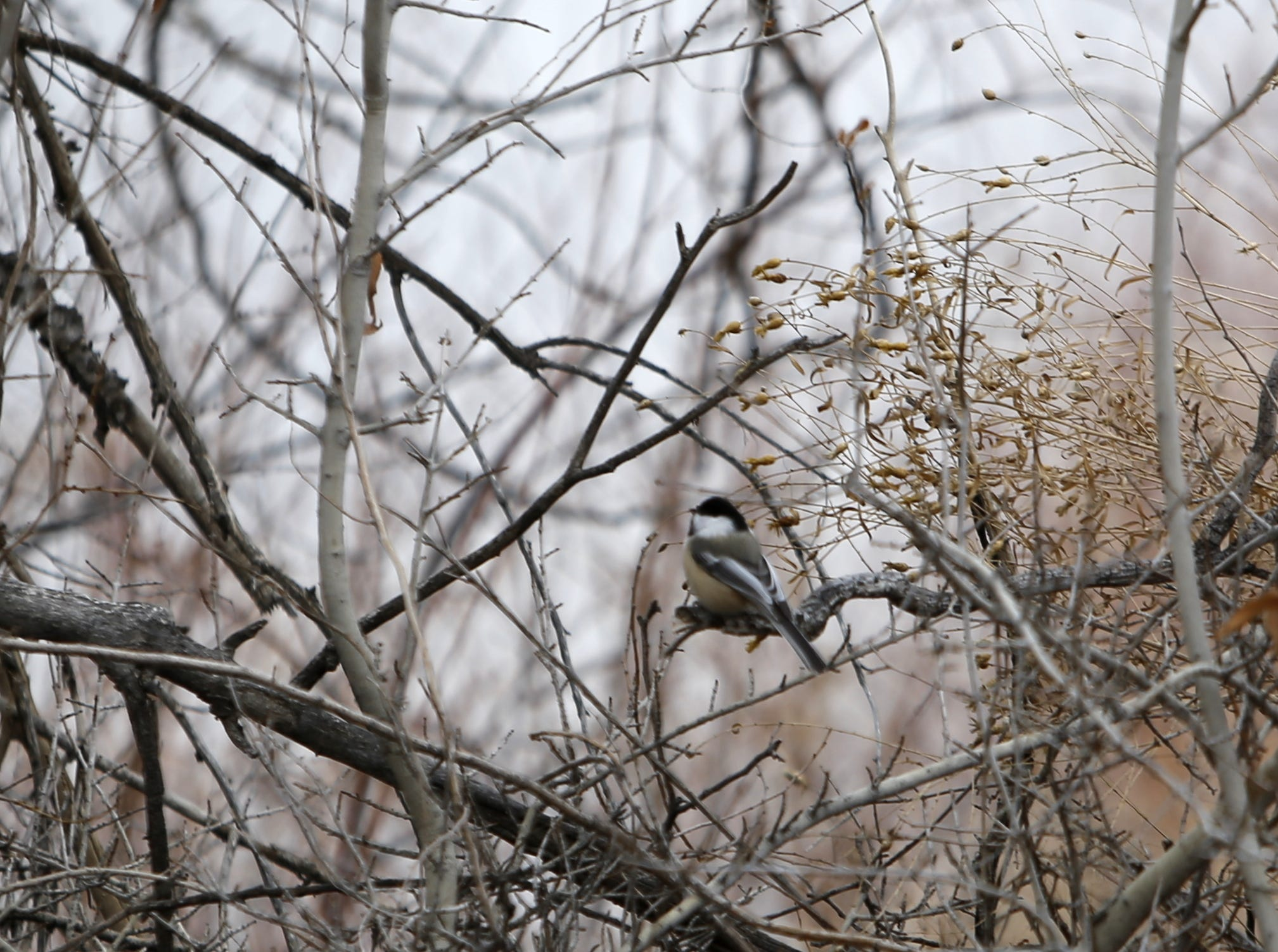 A chickadee sits on a branch, Monday, Dec. 17, 2018, next to the Among the Waters Trail in Farmington.