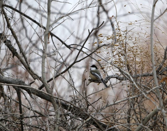 A chickadee sits on a branch Monday next to the Among the Waters Trail in Farmington.