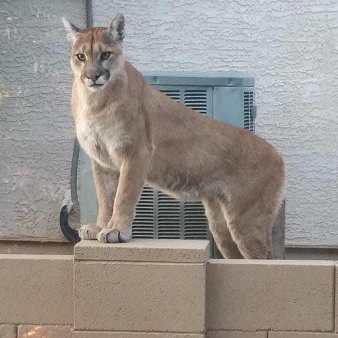 Mountain lion spotted in Tucson-area retirement community