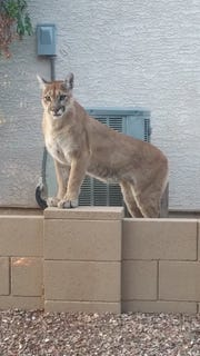 A fully grown mountain lion spotted in a Tucson-area community.