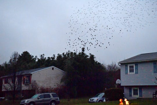 A murmuration of birds spans the sky above the home of Tami and Tom Gesner in Fairview Township, Sunday, Dec. 16, 2018. The birds arrive daily near sunset, synchronizing their swoops, before diving into the Gesners' neighbor's overgrown bamboo. Dawn J. Sagert photo