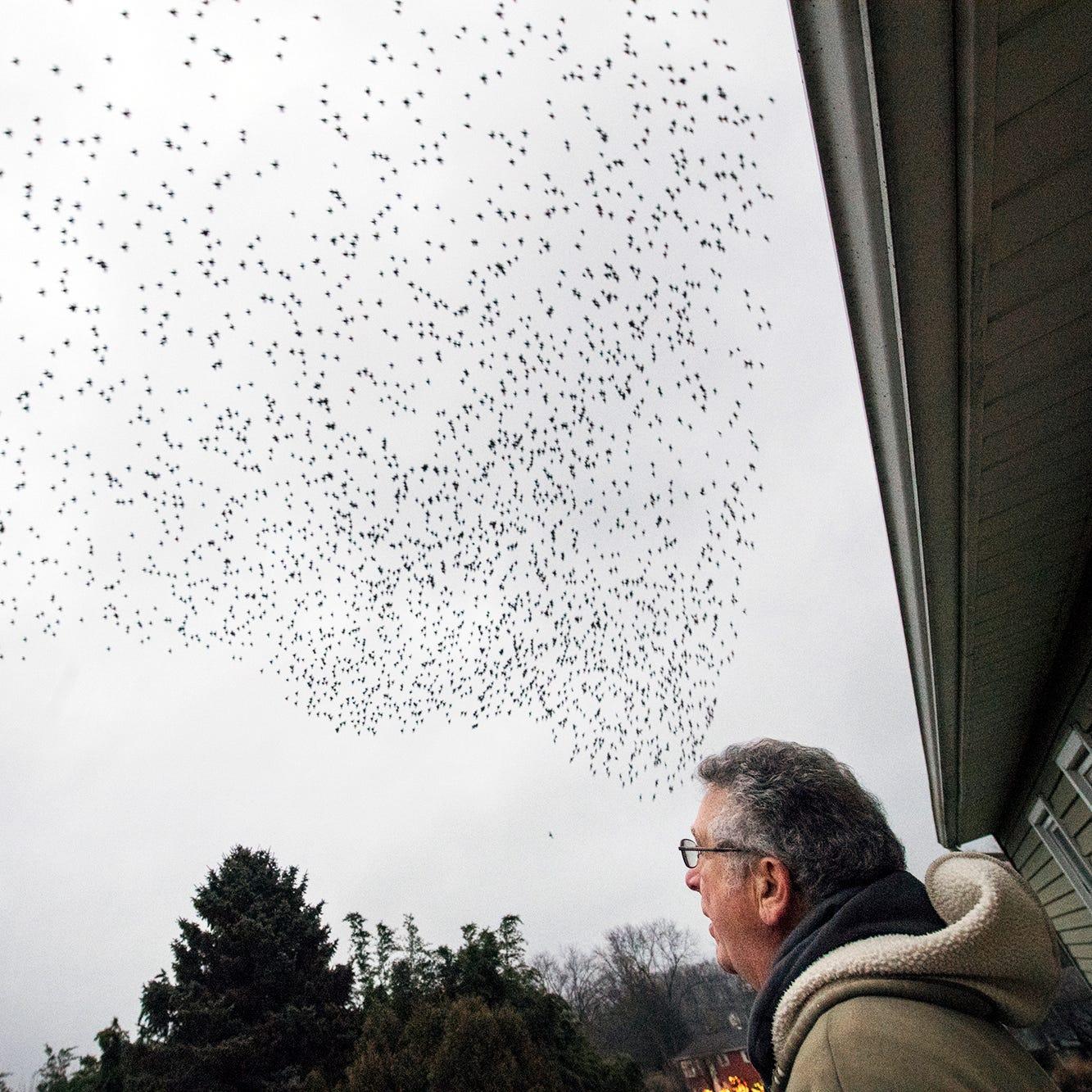 Birds swarming to bamboo grove turn York County neighborhood into Hitchcock movie