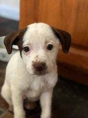 Cyndi Hill Truitt said this puppy, Rosie, also lost her life to parvo. She was adopted by another family at Brandywine Valley SPCA's Mega Adoption in Harrington earlier this month.