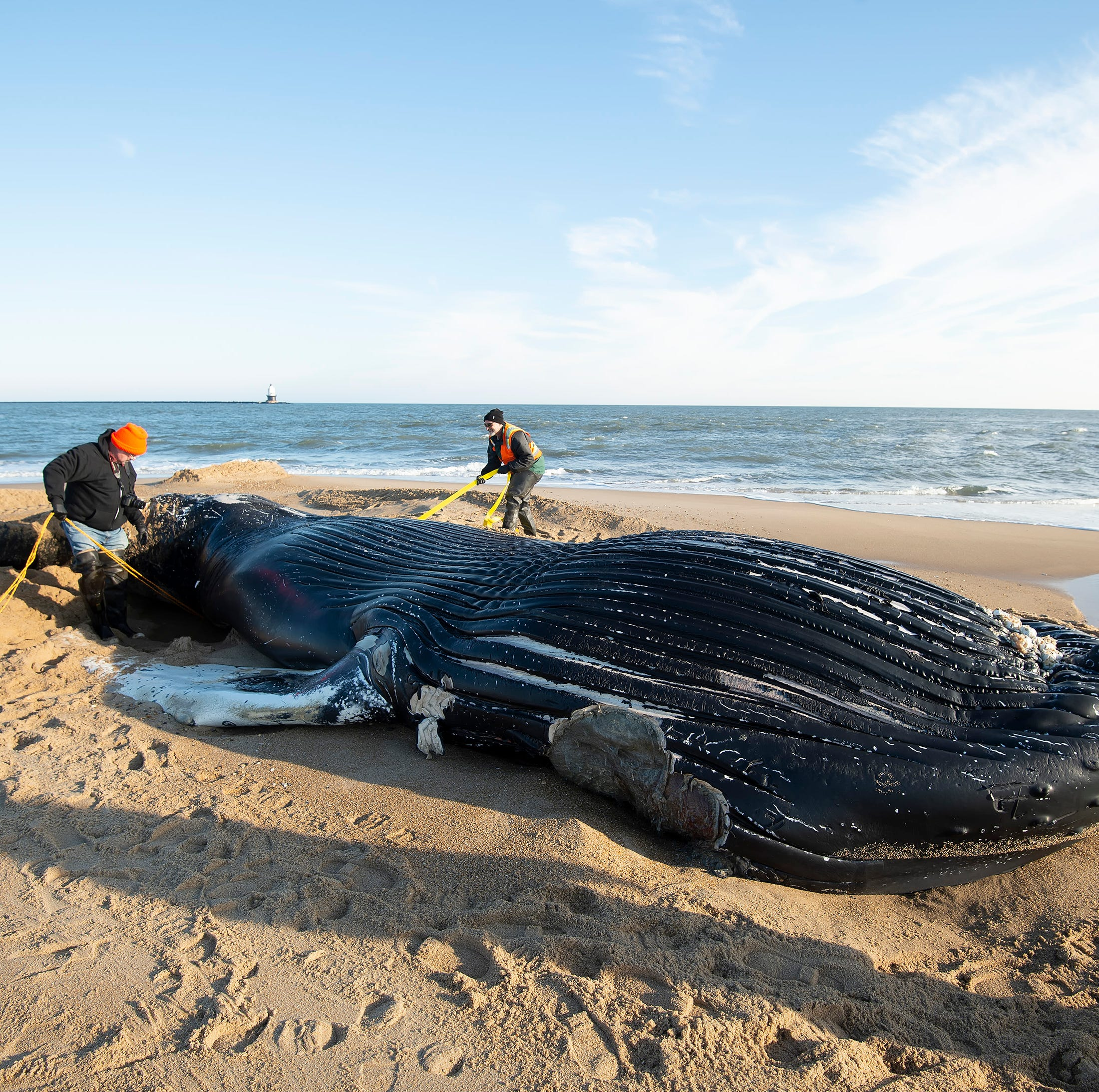 Dead humpback whale washes ashore in Lewes
