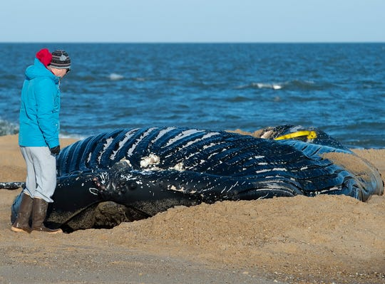 A deceased juvenile humpback whale washed ashore at Cape Henlopen State Park in Lewes.