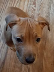 Daisy, a second puppy adopted by Cyndi Hill Truitt during the Brandywine Valley SPCA's Mega Adoption Event in Harrington, is currently fighting for her life.
