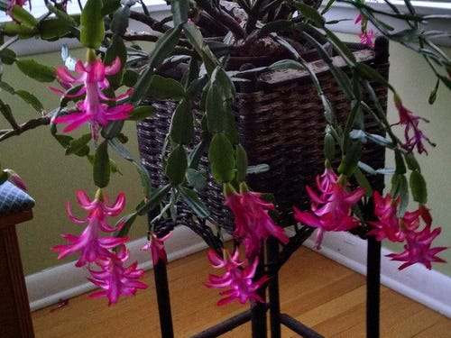 Mom's Christmas cactus is over 50 and still blooming