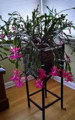 Few things are as dependable as the Christmas cactus in the Apps family household.
