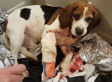 Trooper was among two Beagles injured after being thrown out an SUV along Interstate 81 in Cortland County.
