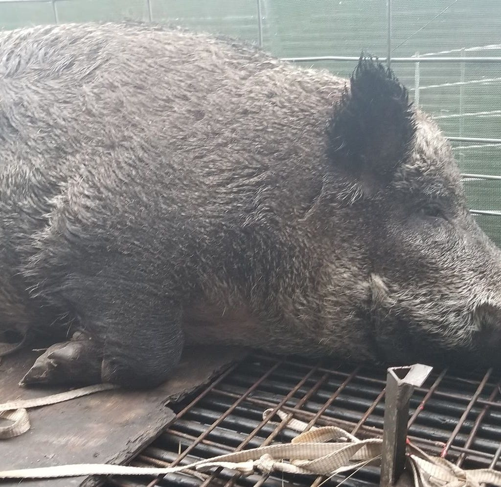 Massive 400-pound hog captured in Palm Bay near school bus stop