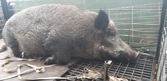 A team of dogs and men captured the Palm Bay hog and placed it in a cage.