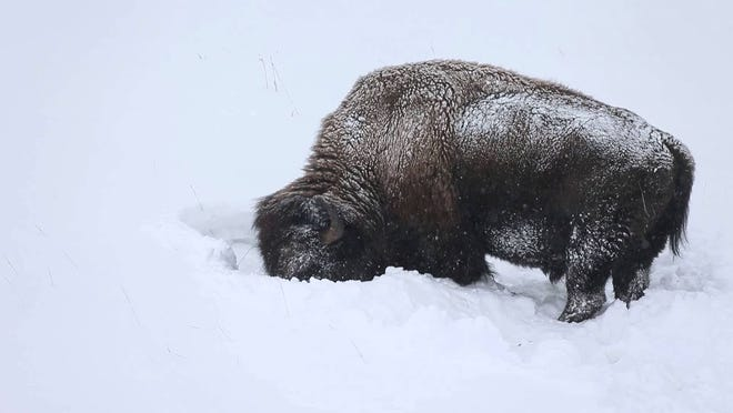 Bison survive harsh winters by using their think hides for insulation and digging through deep snow to find grasses to eat.