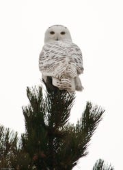 The snowy owl is an occasional Montana winter visitor, coming from the Arctic.