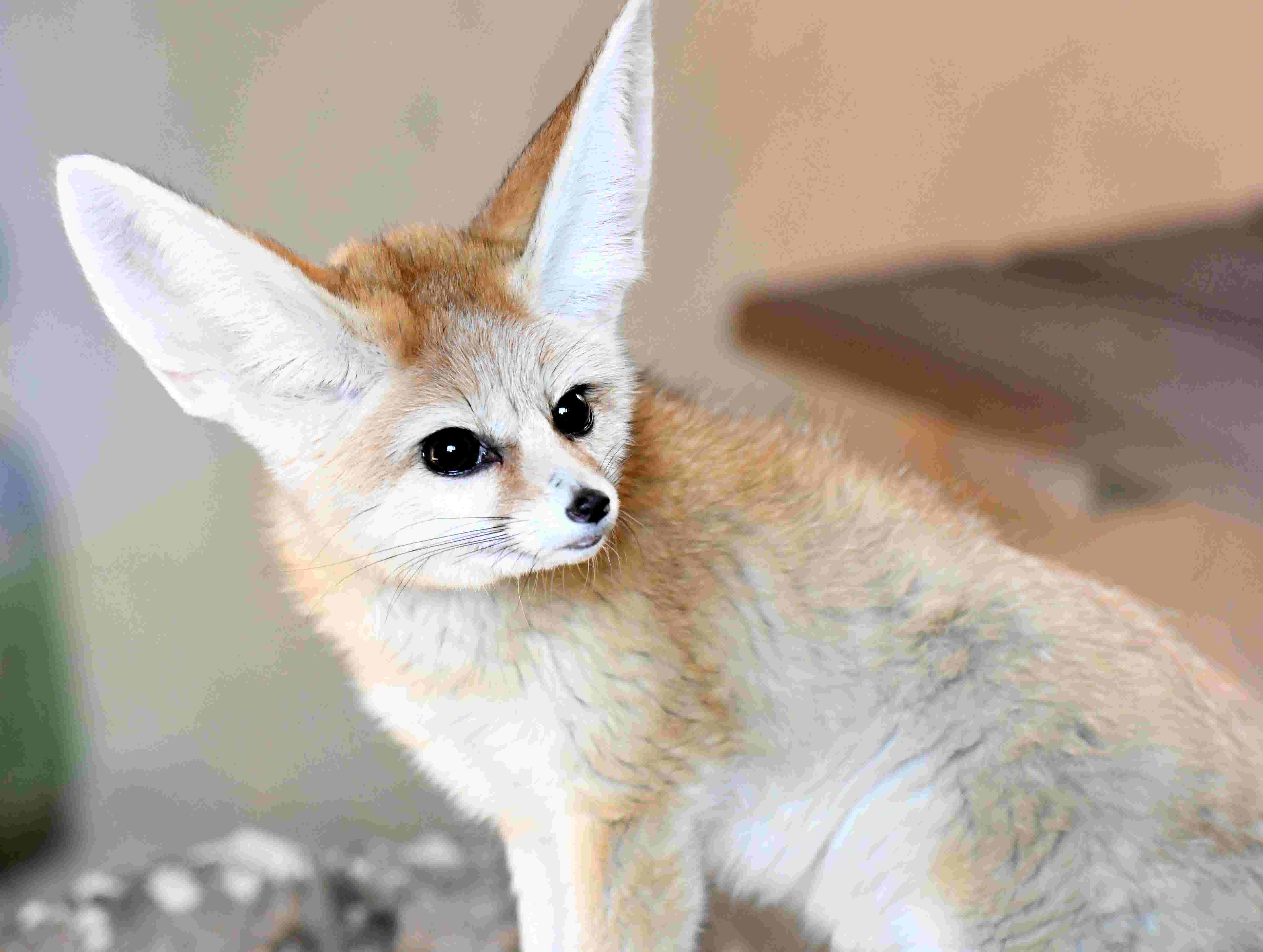 Fennec foxes arrive at Hattiesburg Zoo