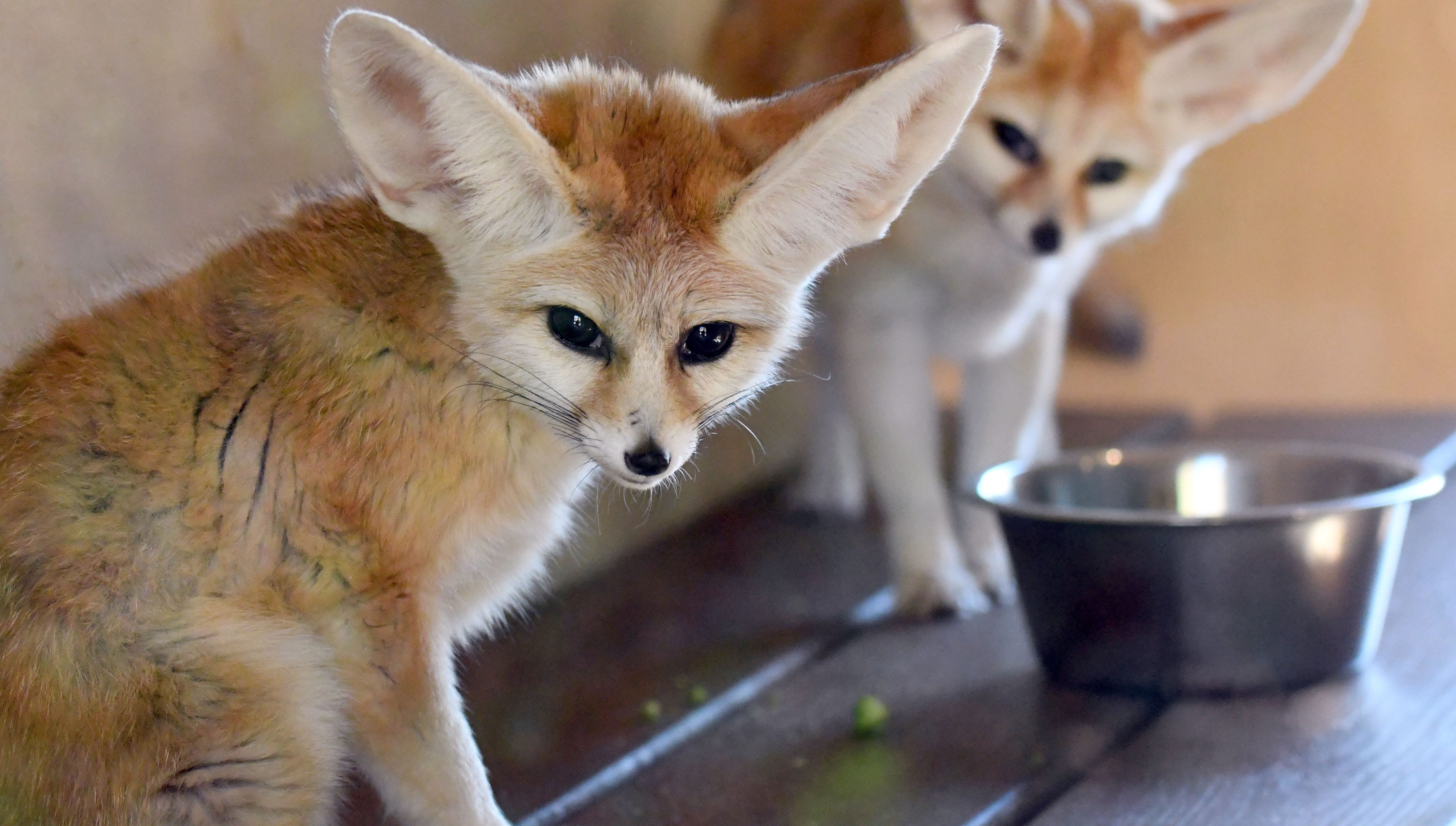The Hattiesburg zoo added two fennec foxes to their exhibit on Tuesday, December 18, 2018. Five-year-old Biff and 9-year-old Chad are the two male foxes on display in a small building in the Africa exhibit where visitors can watch them through two glass windows.
