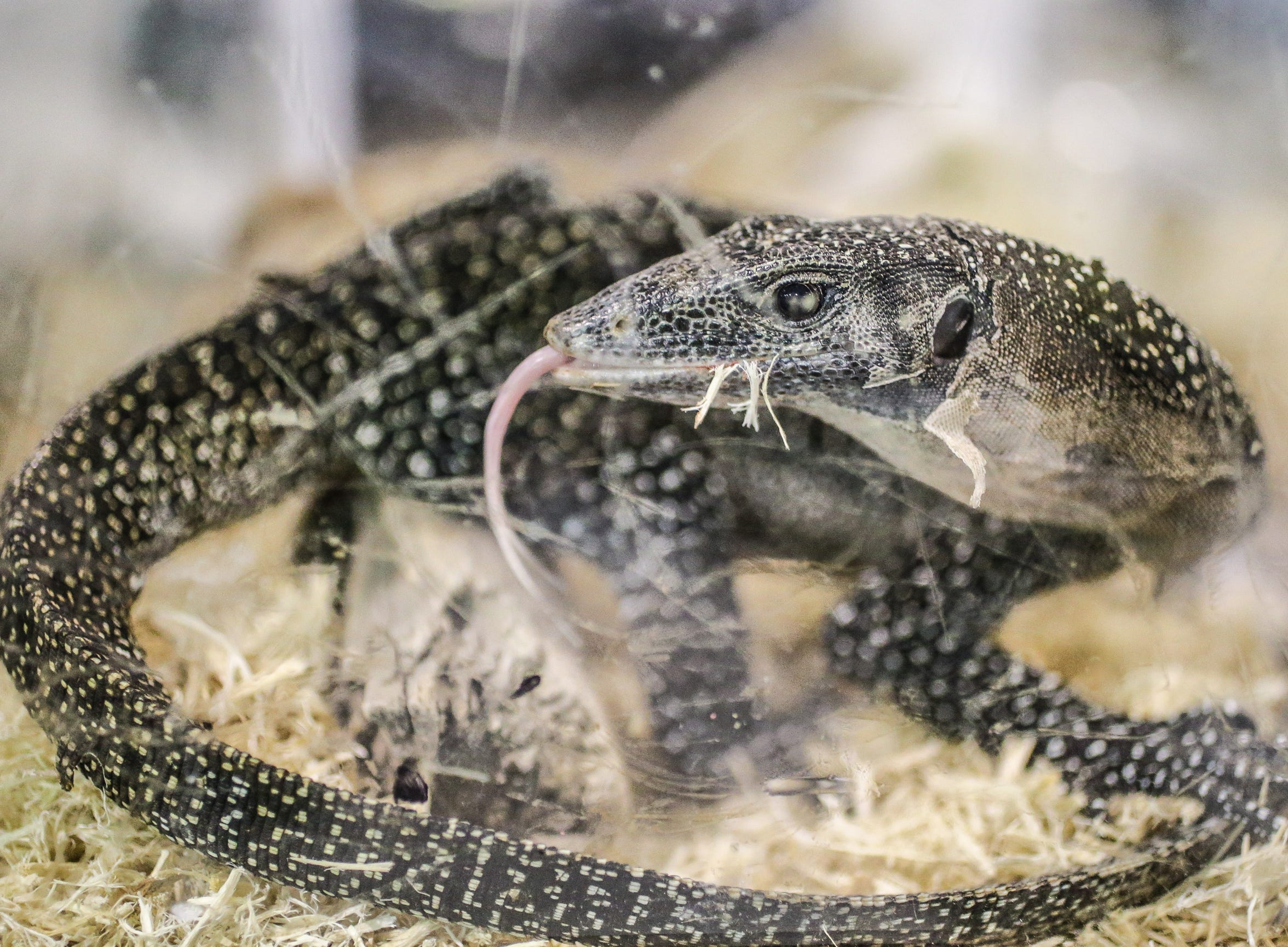 A monitor lizard flicks it's tongue from the Grove City Reptiles booth during the Midwest Reptile Show held at the Indiana State Fairgrounds on Sunday, Jan. 14, 2018.