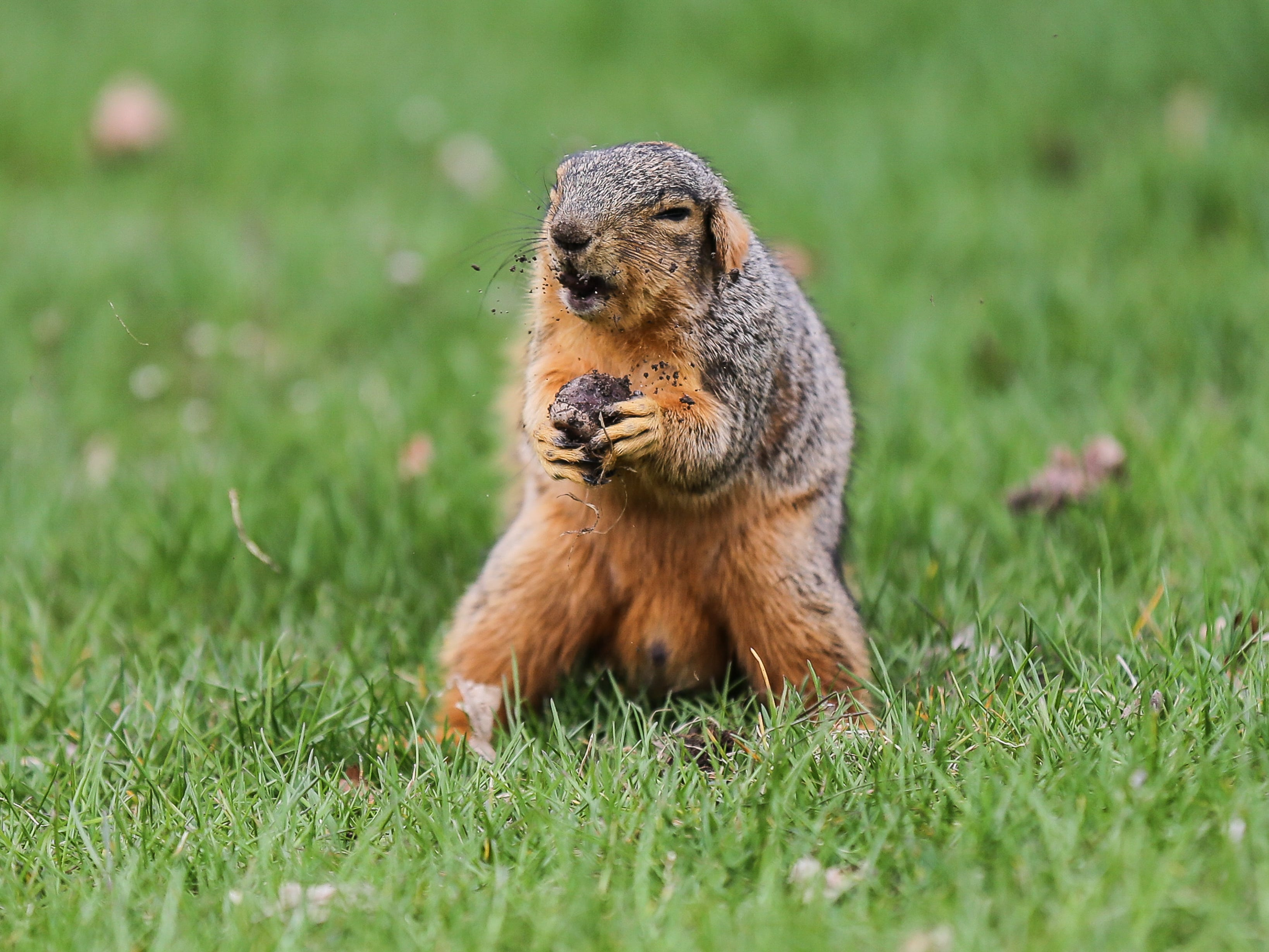 A squirrel munches on a nut during the Best Buddies Friendship Walk held at White River State Park in Indianapolis on Sunday, April 22, 2018.