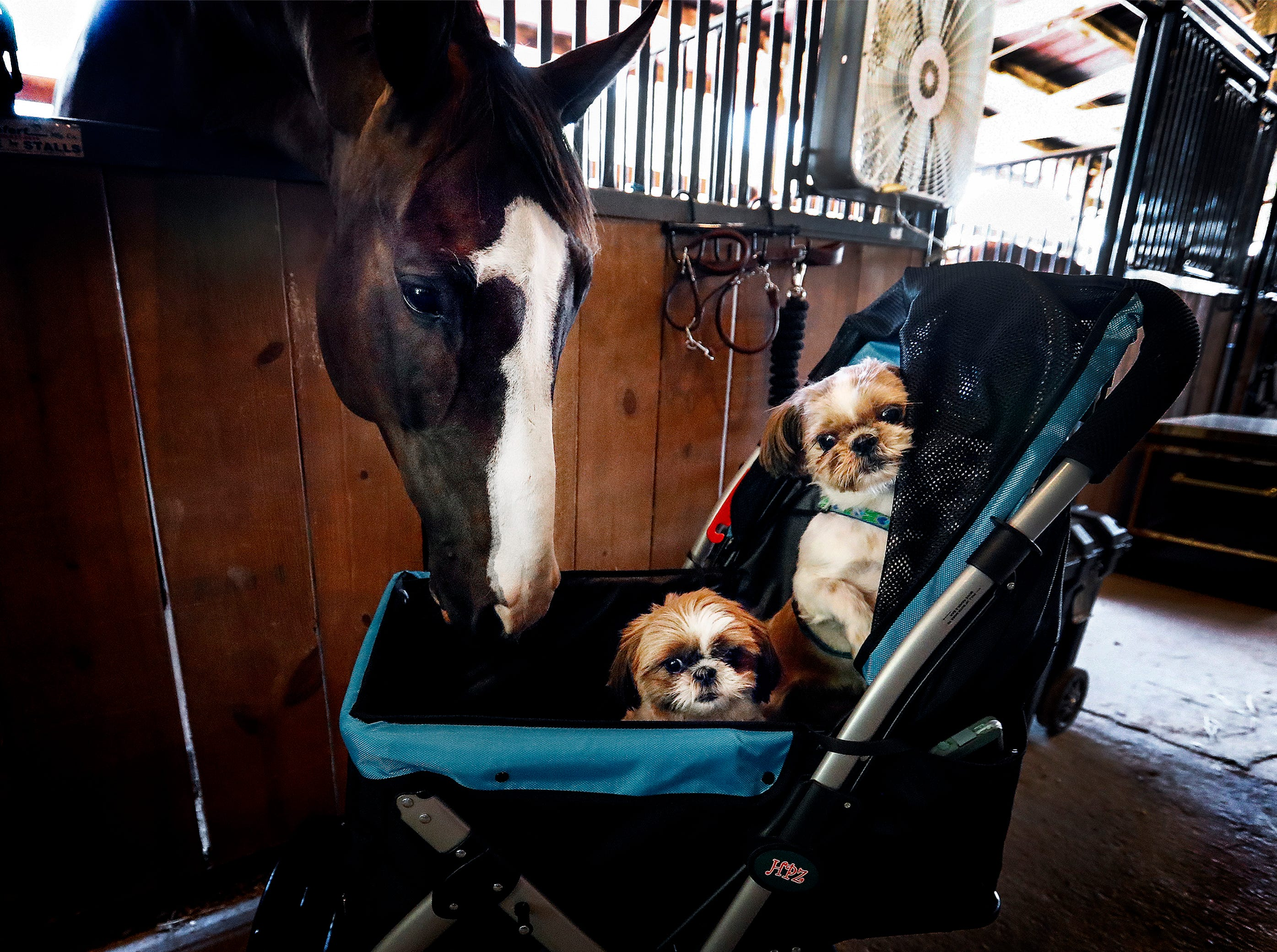 New Dream, a 9 year-old hunter horse, checks out shih tzu's Coco and Kitty during load-in day at the Germantown Charity Horse Show Monday morning.