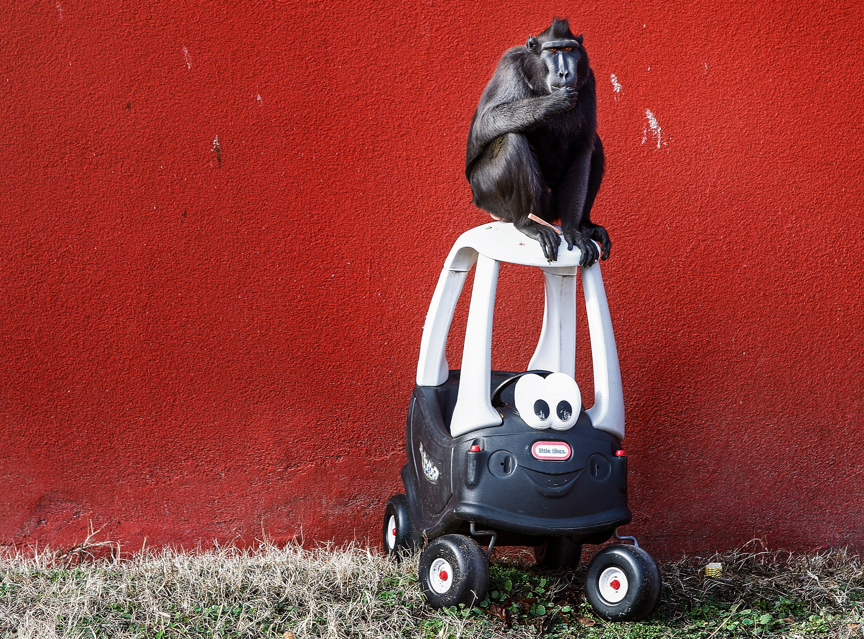 A Sulawesi Crested Black Macaque sits atop a donated toy car at the Memphis Zoo Friday morning. Courtney Janney, curator of large mammals at the zoo came up with a novel way to recycle children's toy be letting animals play with them from time to time.