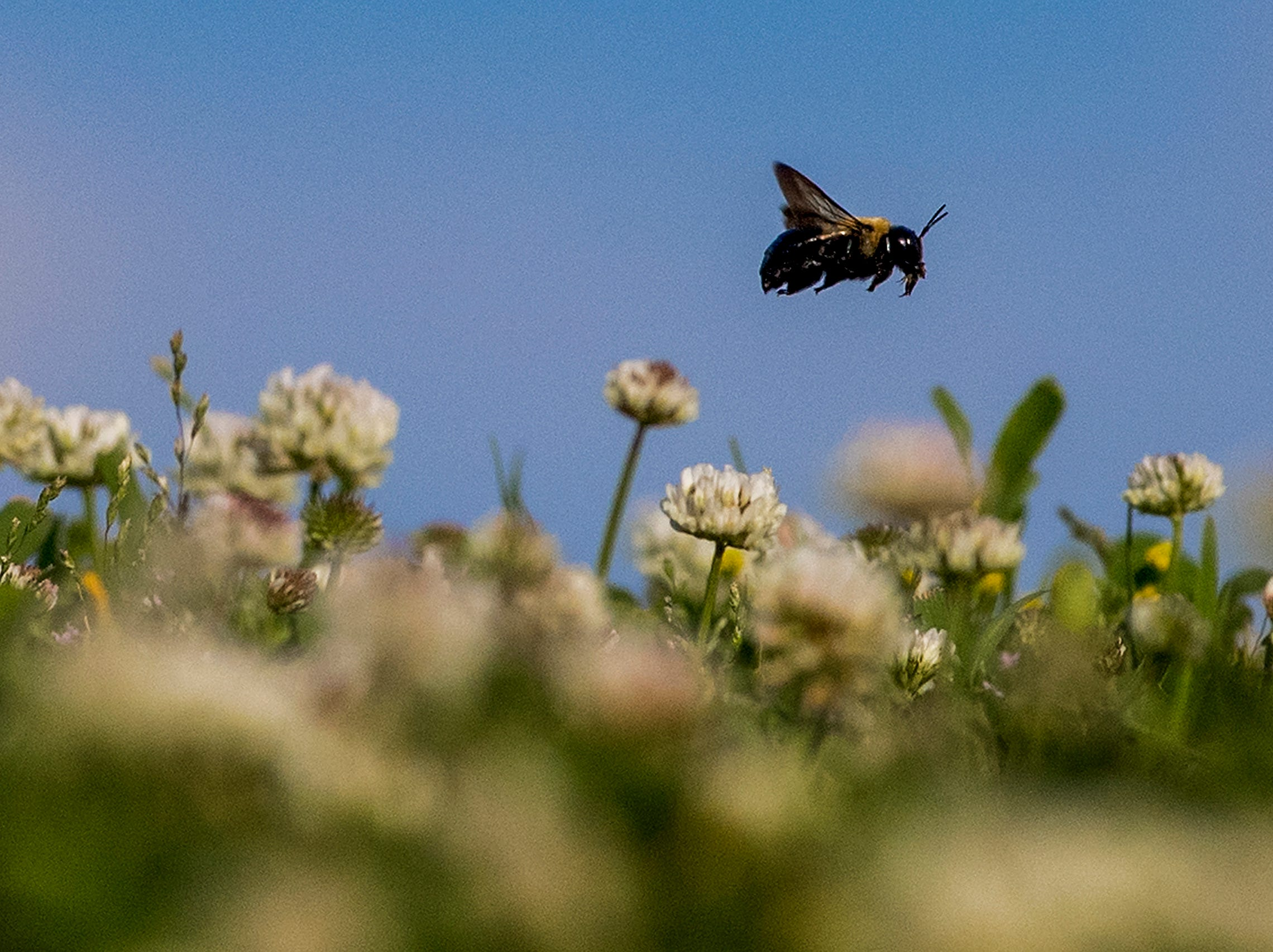 A bee flies over clover in Blount Cultural Park in Montgomery, Ala. on April 3, 2018.