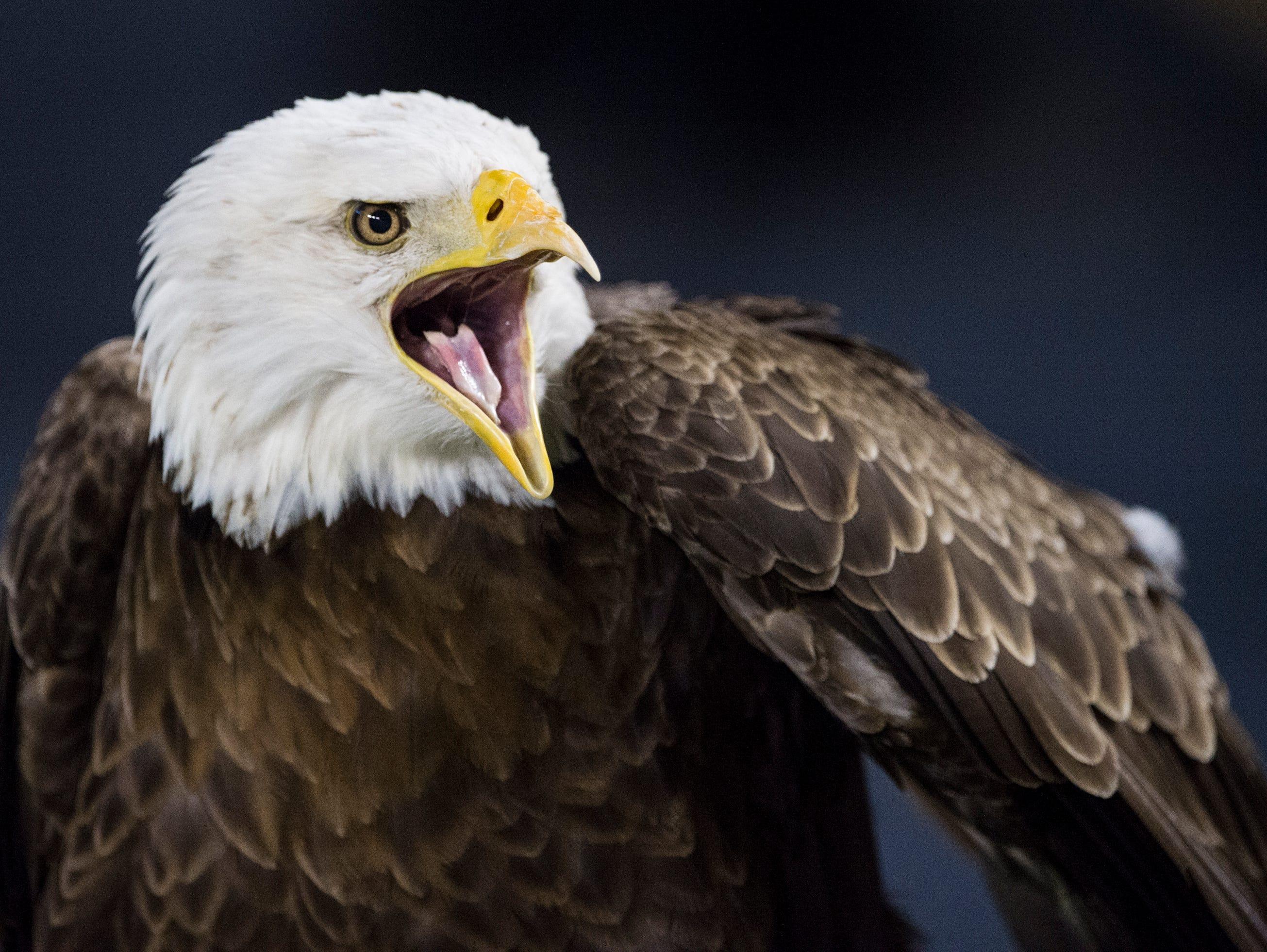 Auburn's War Eagle Spirit chirps on the sideline as he watches Auburn take on Arkansas at Jordan-Hare Stadium in Auburn, Ala., on Saturday, Sept. 21, 2018. Auburn defeated Arkansas 34-3.