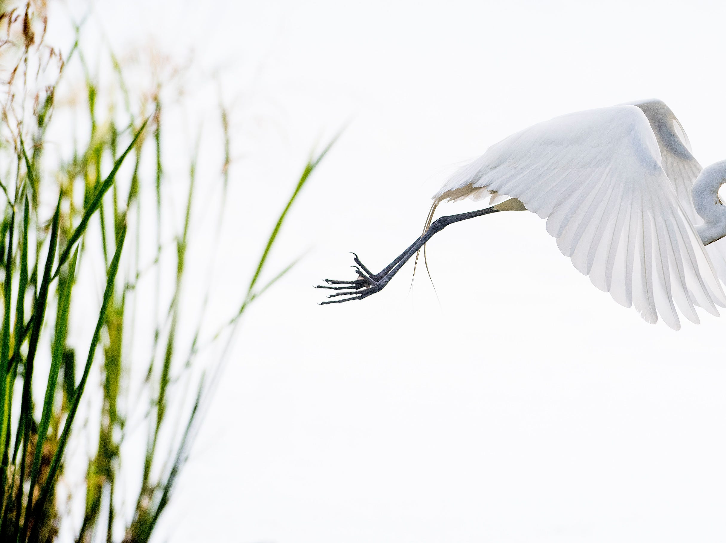 A great egret lifts off from it perch at Blount Cultural Park in Montgomery, Ala., on Tuesday May 8, 2018.